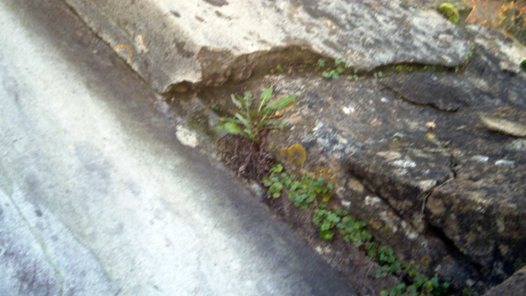 Weeds in the Parapet's Coping Stones